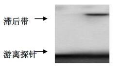 昆明emsa实验外包/乌鲁木齐亚细胞定位实验外包/西安淳风生物科技有限公司