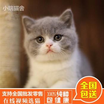 沈阳加菲猫出售-辽宁英短猫-福州市鼓楼区蓉彩美容院