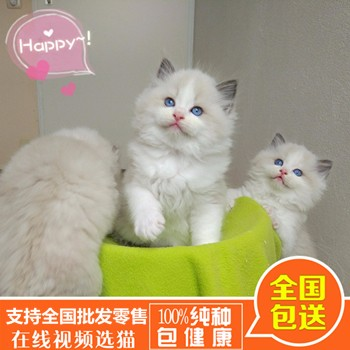 布偶猫咪零售_布偶猫价钱_福州市鼓楼区蓉彩美容院