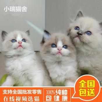 布偶猫/国际加菲猫几多钱/福州市鼓楼区蓉彩美容院