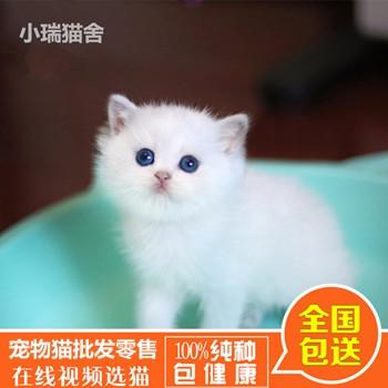 纯种加菲猫多少钱/纯种金吉拉价格/福州市鼓楼区蓉彩美容院