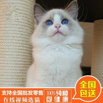 纯种金吉拉_宠物猫多少钱一只_福州市鼓楼区蓉彩美容院