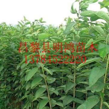 我们推荐提供出售黑珍珠大樱桃树苗昌黎苗木公司价格_樱桃苗相关