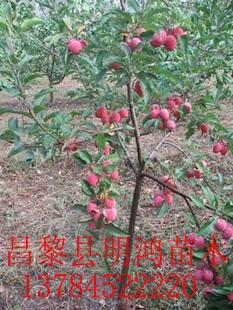 出售鸡心果苹果树苗昌黎明鸿苗木_果树价格