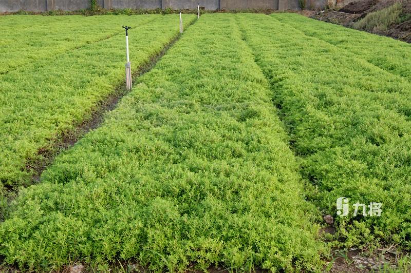 高品质容器性佛甲草供应厂家专业定制 正宗立体绿化墙厂家直销