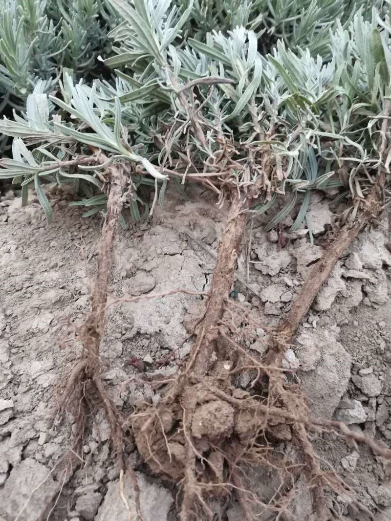 栽植薰衣草技术管理_培育资料-上海乐沃农业科技有限公司